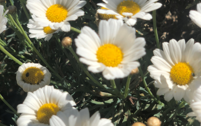 Camomile – Not just for tea!