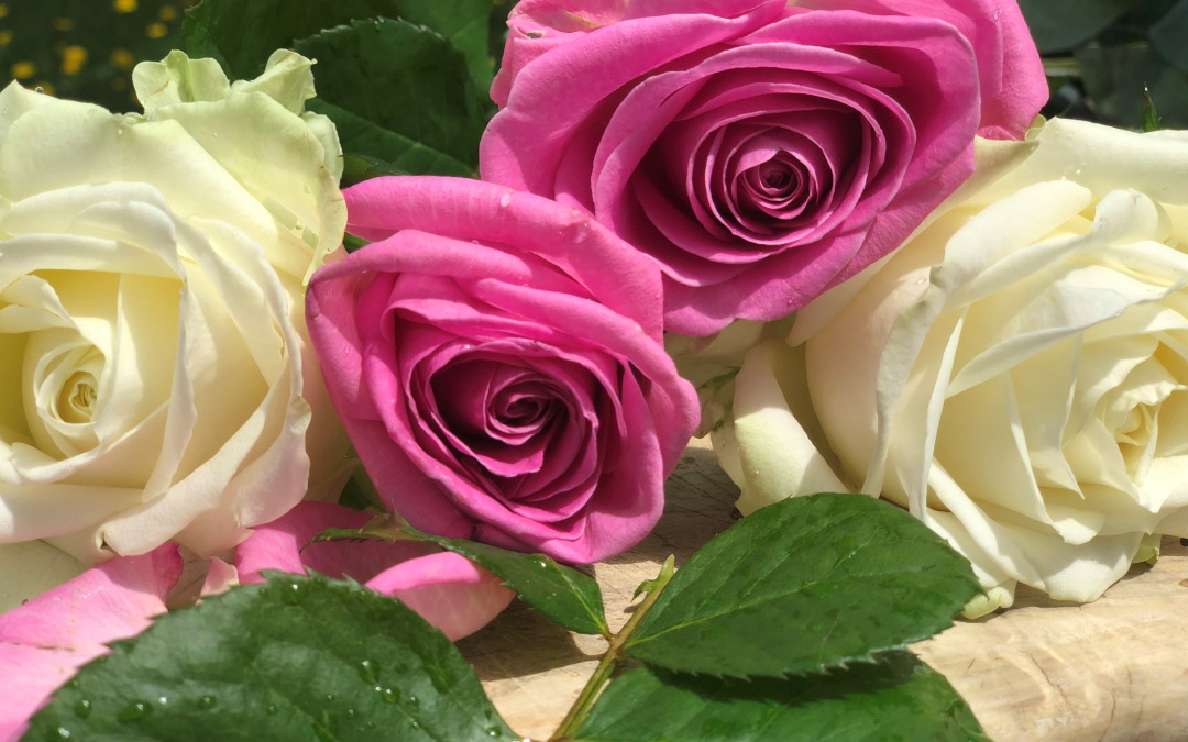 Rose Essential Oil – The Queen of Flowers